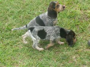 2013 beagle puppies hunting dogs for sale in southwest louisiana