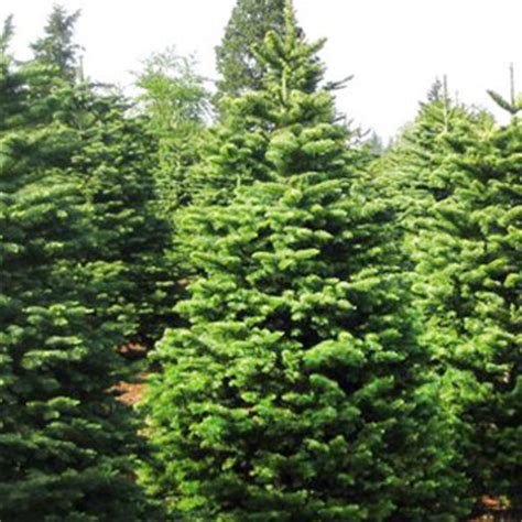 noble fir pinery christmas trees