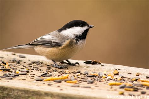 black capped chickadee feeding the roger tory peterson