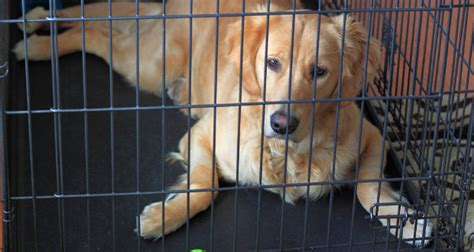 crate golden retriever puppy how to crate a puppy or a step by step guide