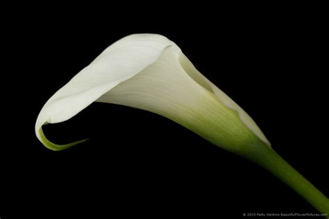 in the studio crystal white calla lilies beautiful
