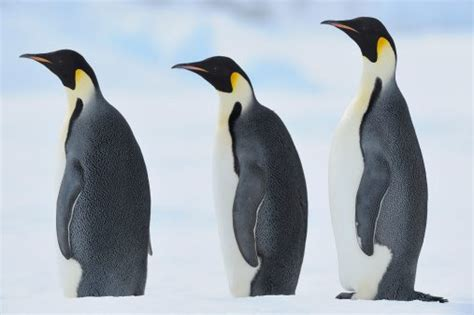 8 Facts On Penguins by 10 Facts About Emperor Penguins National Geographic
