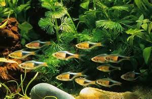 Harlequin Rasbora (Rasbora heteromorpha)   Tropical Fish Keeping
