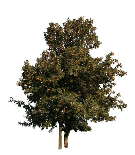 maple tree not maple tree with fruits free cut out trees and leaves
