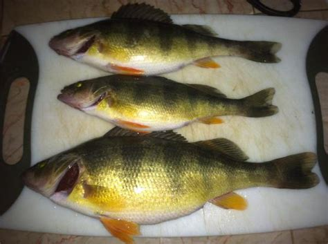 yellow crappie yellow perch report