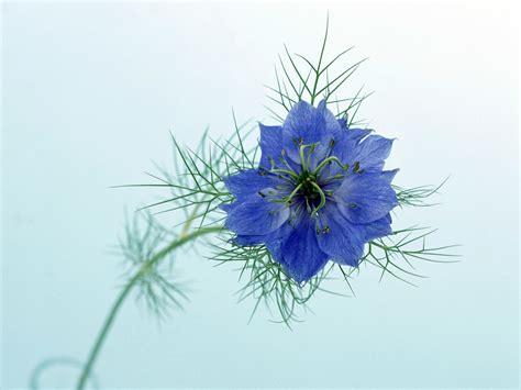 sfondi fiore sfondi nigella fiore sfondo stelo 1600x1200