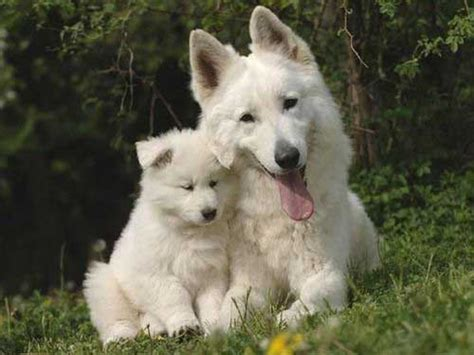 all white german shepherd how does the white german shepherd differ from other quot normal quot gsds