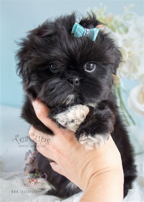 shih tzu puppies for sale in shih tzu puppy for sale in south florida shih tzu puppies