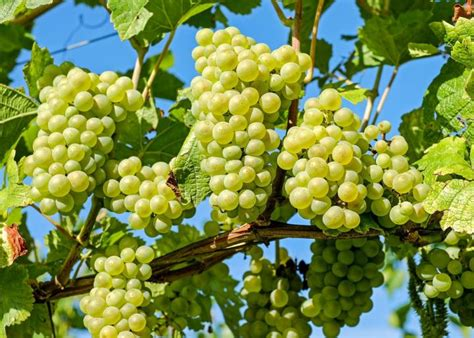 Do You To Use Organic Grapes For A Detox by Grapes Planting Growing And Harvesting Grape Vines