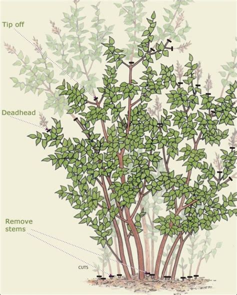 pruning lilac trees music search engine at search com