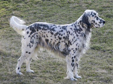 setter dog traits english setter history personality appearance health