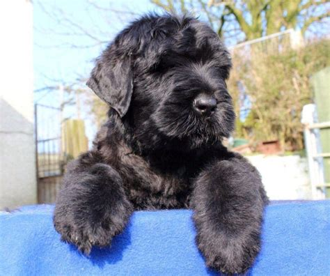 black russian terrier puppies for sale russian terriers for sale breeds picture