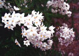 fiori a forma di stella fiori bianchi a forma di stella gpsreviewspot