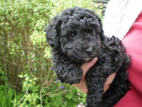 dogs for sale cumbria toy for dog toy for dog pure bred toy poodle puppy not kc registered appleby in