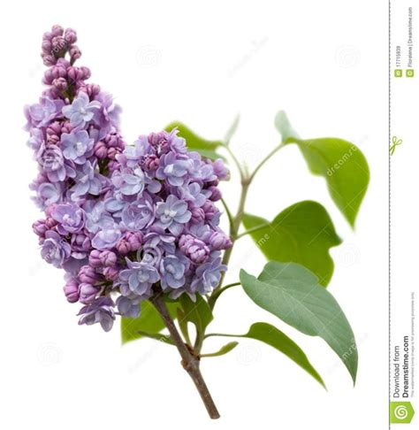 lilac flower meaning 33 best images about lilacs for tattoo on pinterest