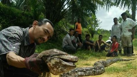 film ular terpopuler peneliti asing beberkan alasan ular piton di indonesia