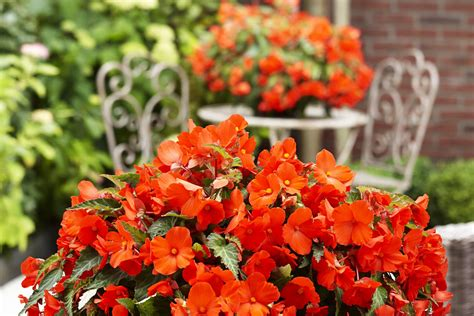 wann macht h m auf begonien pflanzen begonien elatior baladin rote pflanzen