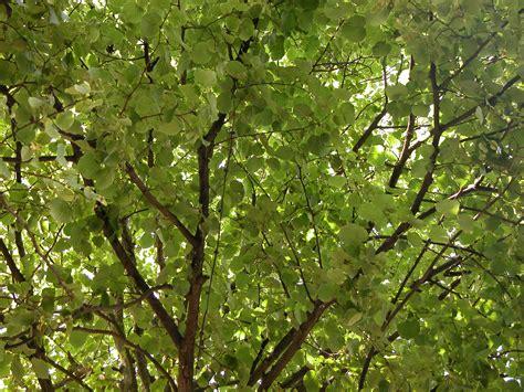 image after photo tree leaf leafs foliage green dense