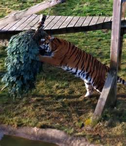 christmas tree enrichment at noah s ark zoo farm noah s