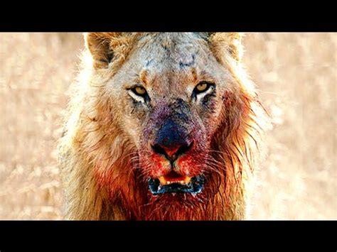imagenes de leones y tigres peleando leones salvajes latest planet africa salvaje pelea a