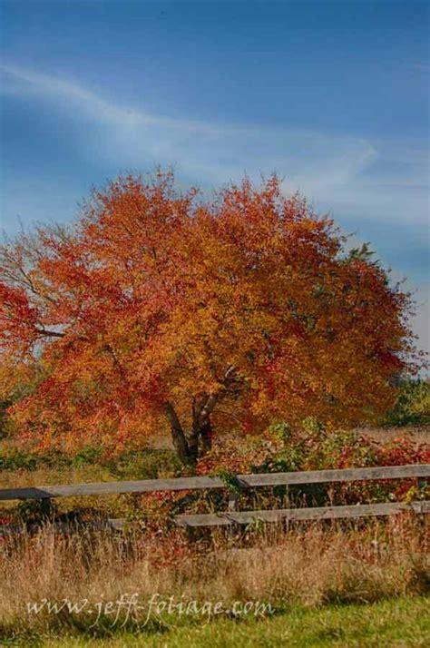 Island Maple Fall Gallery Rhode Island New Fall Foliage
