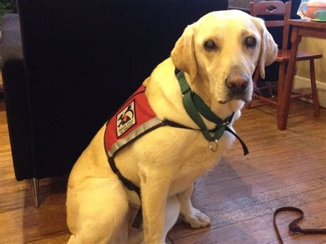 diabetic service dogs cost fundraiser by caroline fig my diabetic service