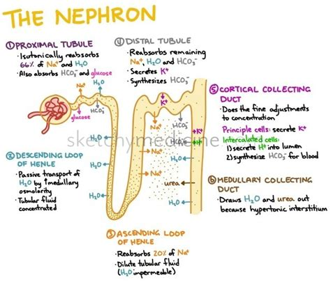 which section of the nephron filters blood plasma nephro sketchy medicine