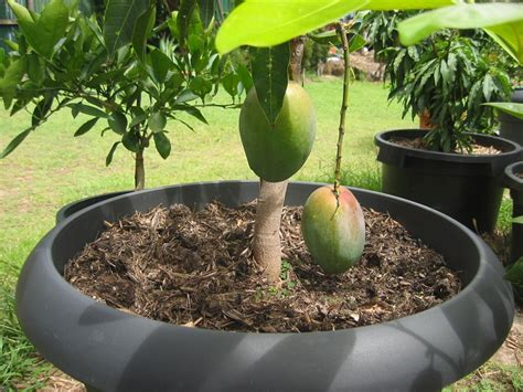 trees in a pot daleys fruit tree fruit trees in pots green thumb