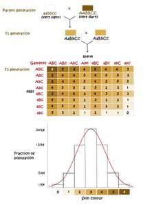 skin color genetics polygenic traits skin color www pixshark images