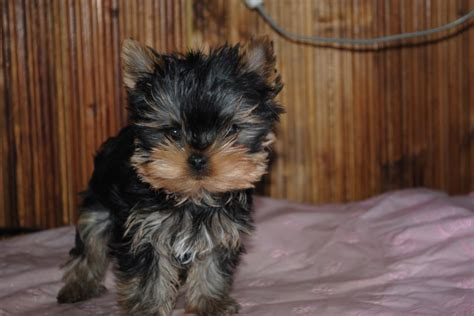 yorkie puppies for sale ta fl cachorros terrier en bogota dogs in our photo