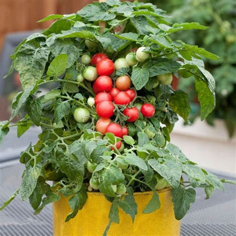 jenis tanaman hias obat akar batang buah dilengkapi