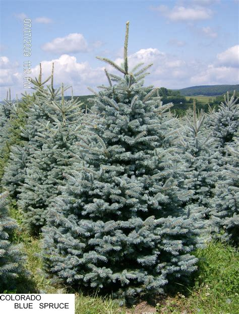 Colorado Blue Spruce Trees Buy Online At Nature Hills | colorado blue spruce porno thumbnailed pictures