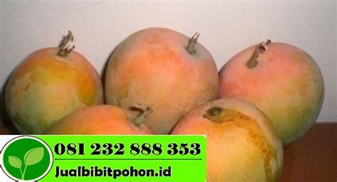 Bibit Buah Mangga Gedong Gincu bibit mangga unggul archives jual bibit pohon 081232888353