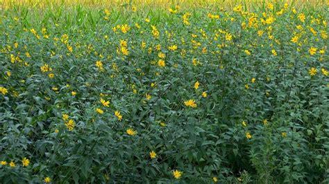 Topinambur Garten Pflanzen by Topinambur Gartennatur