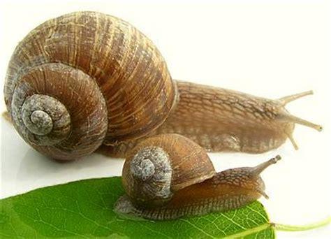 Brown Garden Snail by Brown Garden Snail