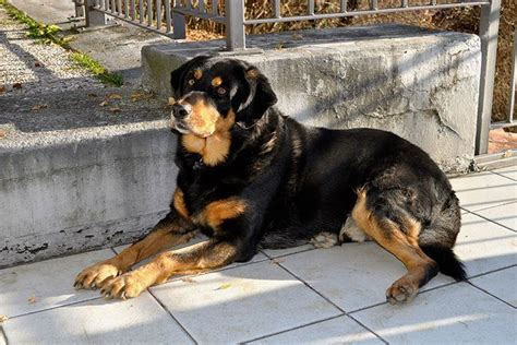 do rottweilers need a lot of exercise why rottweilers are dangerous