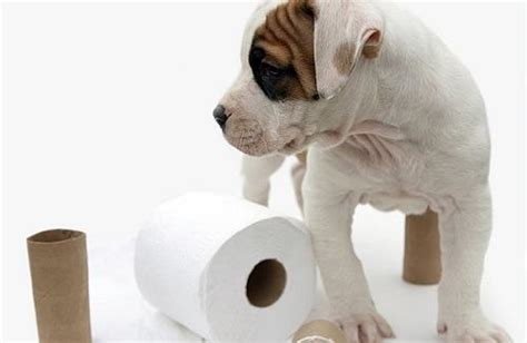 how to potty a 6 week puppy your complete guide to 6 week puppy care thehappypooch