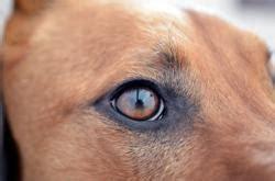 eye infections in dogs eye infections in dogs