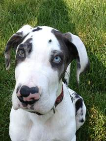 quot mooshoe quot harlequin great dane one day i will