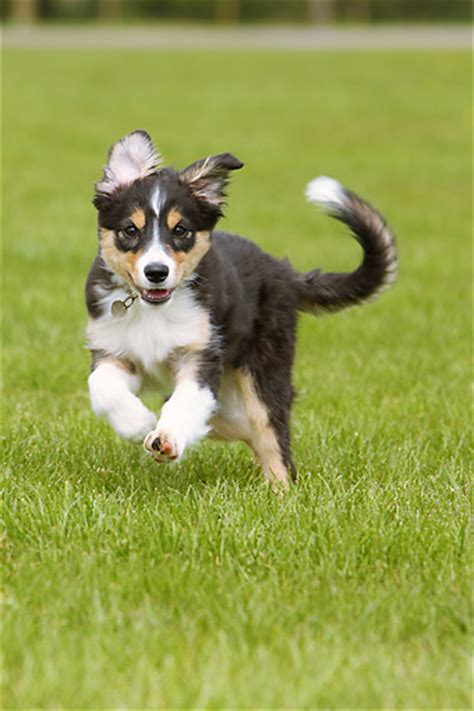 tricolor border collie puppy collie puppies animal stock photos kimballstock
