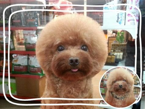 round face cut for dogs taiwanese give dogs perfectly square or round haircuts in