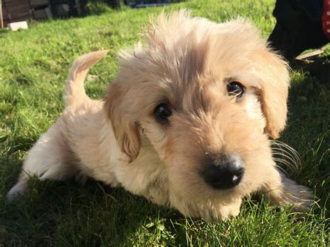 mini labradoodle puppies for sale miniature labradoodle puppies for sale south brent pets4homes