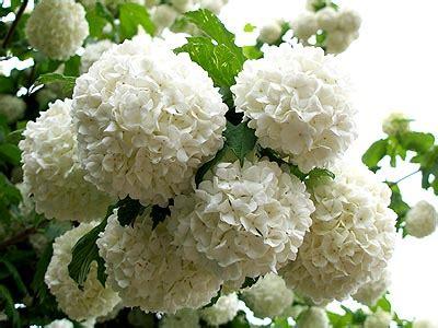 Kalina Puff flowers for flower snowball flowers