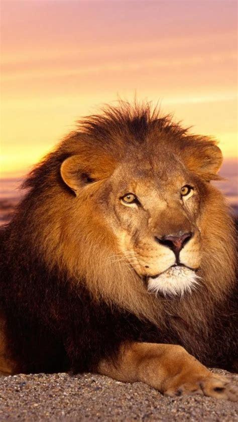 imagenes de leones national geographic wallpapers 640x1136 pour iphone 5