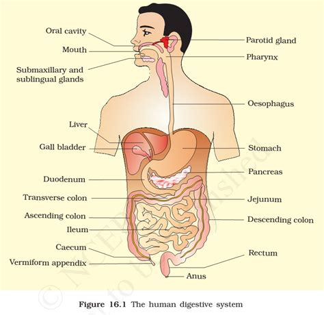 Easy Picture Of Digestive System