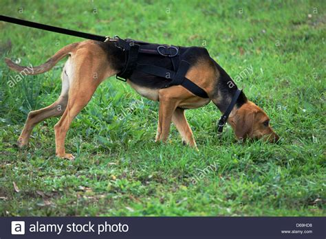 how to tracking dogs k9 a bloodhound tracking stock photo royalty free image 55530308 alamy