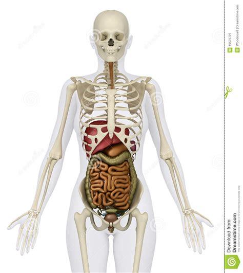 scheletro con organi interni organi addominali femminili con lo scheletro illustrazione