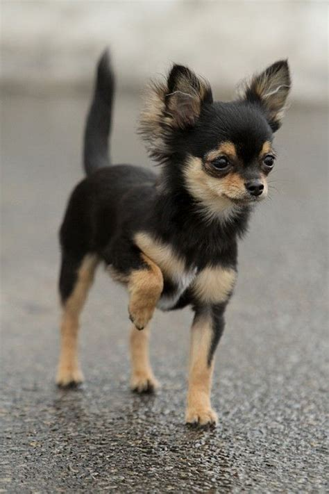 Do Chihuahua Dogs Shed by Top 10 Light Shedding Dogs Fullact Trending Stories With