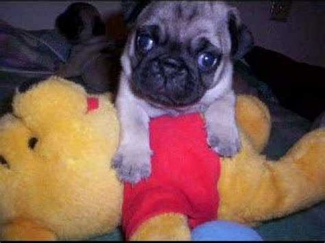 pugs that don t grow the pug puppies grow up in pictures