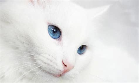 gatti con occhi diversi gatti un colore non vale l altro